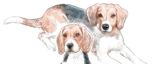 beagle crop